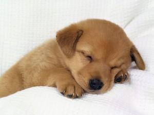 toxicité du xylitol chez les animaux domestiques